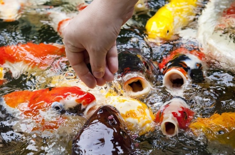 peces japoneses